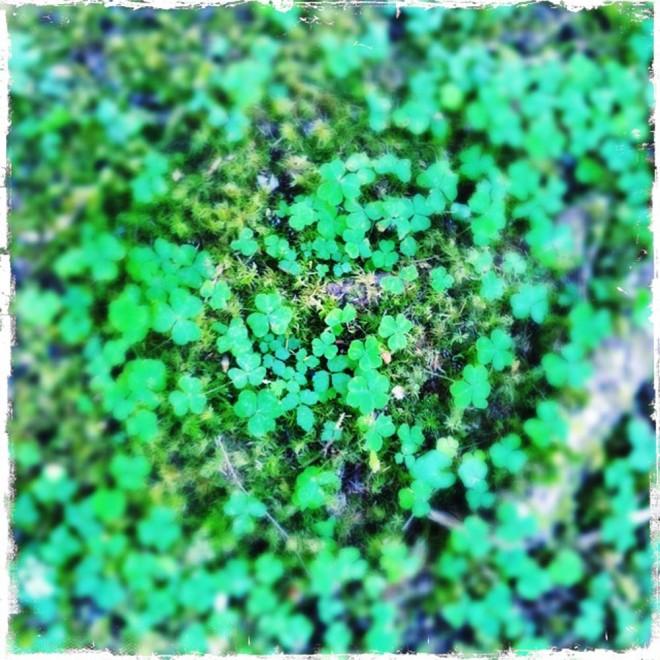 Sorrel. Hoh Rain Forest.